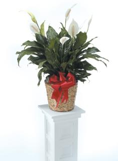 "Peace Lily 6"" Basket and Bow"